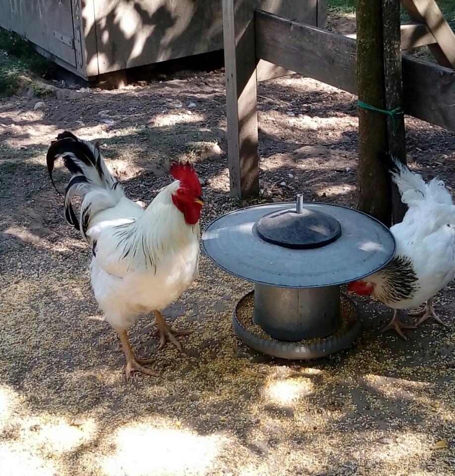 gallina-ermellinata-Parco-Sigurtà
